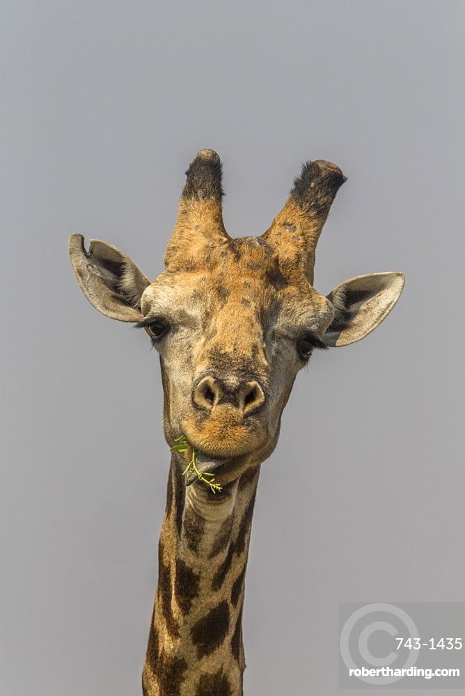 Giraffe (Giraffa camelopardalis) feeding, Kruger National Park, South Africa, Africa