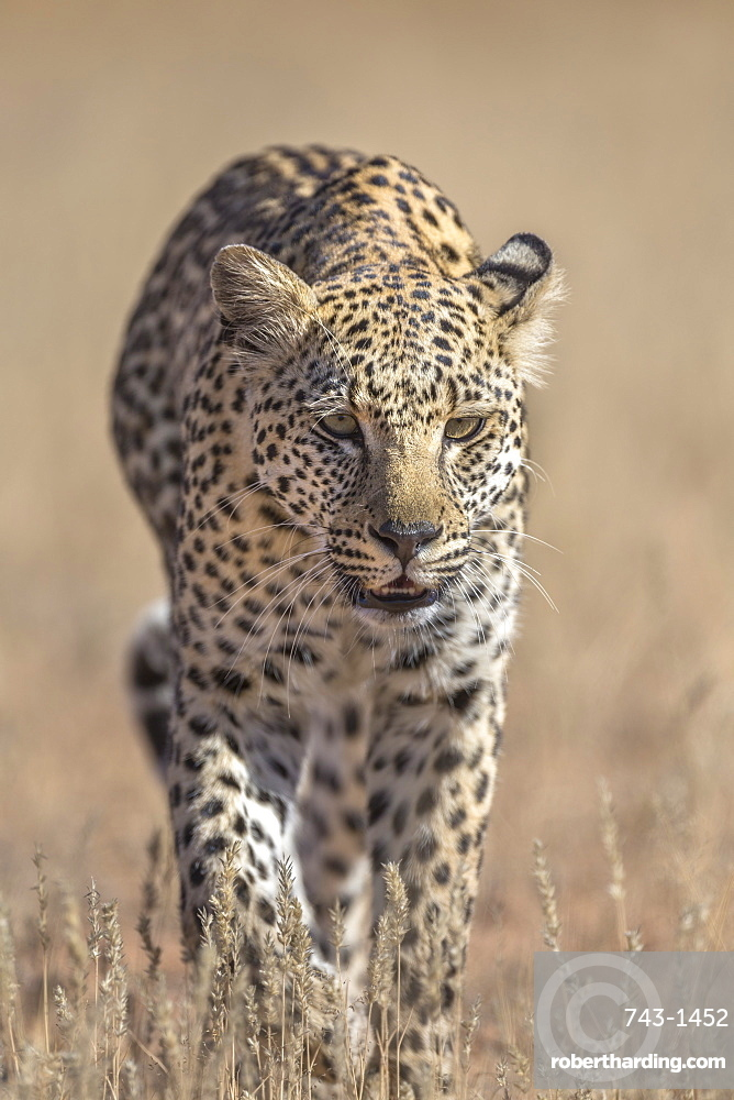 Leopard female (Panthera pardus), Kgalagadi Transfrontier Park, South Africa, Africa