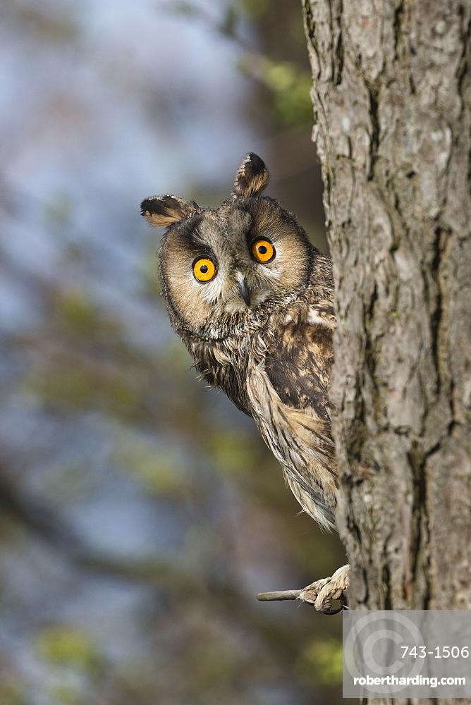 Long-eared owl (Asio otus), captive, United Kingdom, Europe