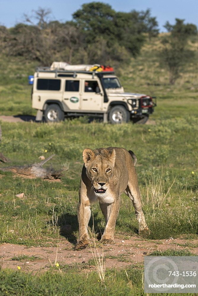 Lion (Panthera leo) with safari tourists, Kgalagadi Transfrontier Park, Northern Cape, South Africa, Africa