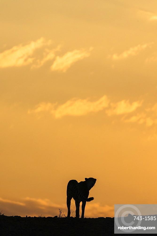 Cheetah (Acinonyx jubatus) silhouette, Zimanga Private Game Reserve, KwaZulu-Natal, South Africa, Africa