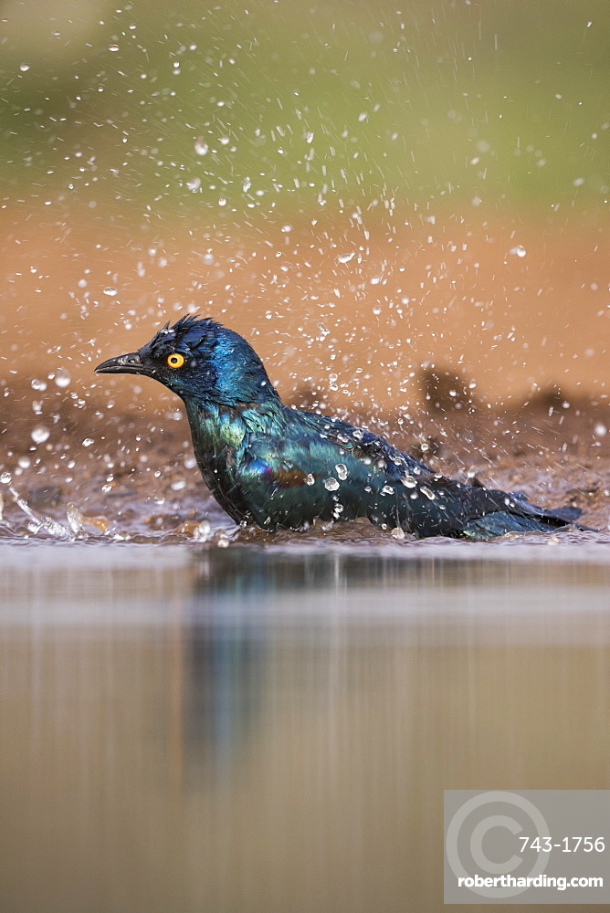 Cape glossy starling, Lamprotornis nitens, bathing, Zimanga private game reserve, South Africa