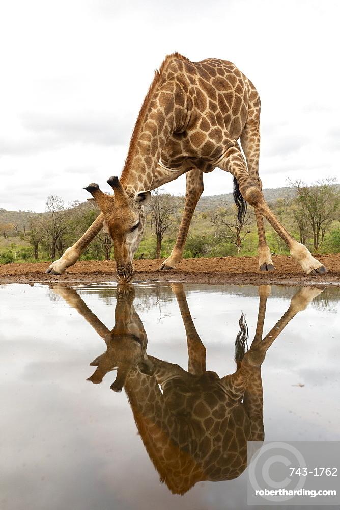 Giraffe, Giraffa camelopardalis, drinking, Zimanga private game reserve, KwaZulu-Natal, South Africa