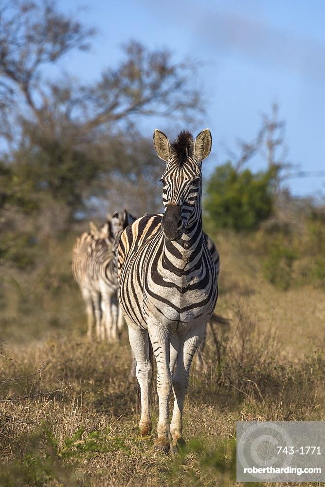 Plains zebra, Equus quagga,  iMfolozi game reserve, KwaZulu-Natal, South Africa