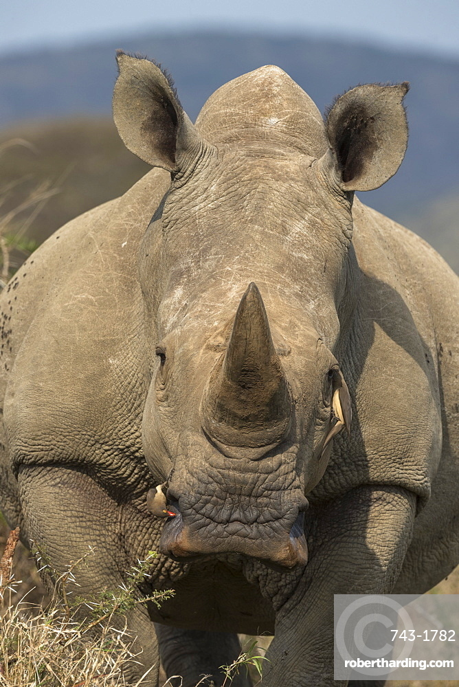White rhino, Ceratotherium simum, with redbilled oxpeckers, iMfolozi game reserve, KwaZulu-Natal, South Africa