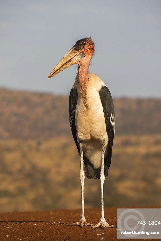 Marabou (Leptoptilos crumenifer), Zimanga private game reserve, KwaZulu-Natal, South Africa, Africa