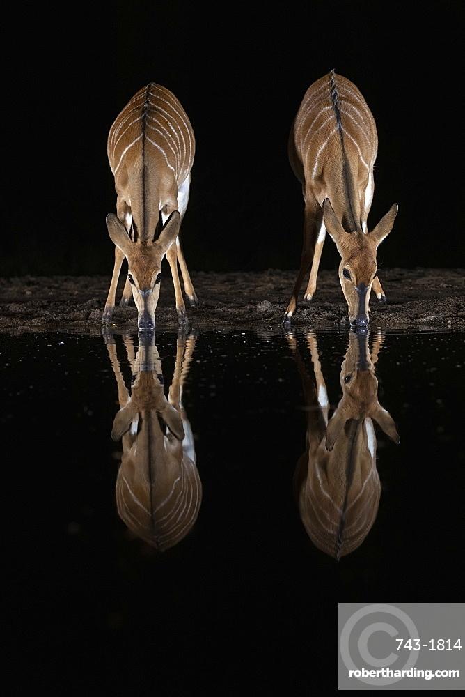 Nyala (Tragelaphus angasii) at water at night, Zimanga private game reserve, KwaZulu-Natal, South Africa
