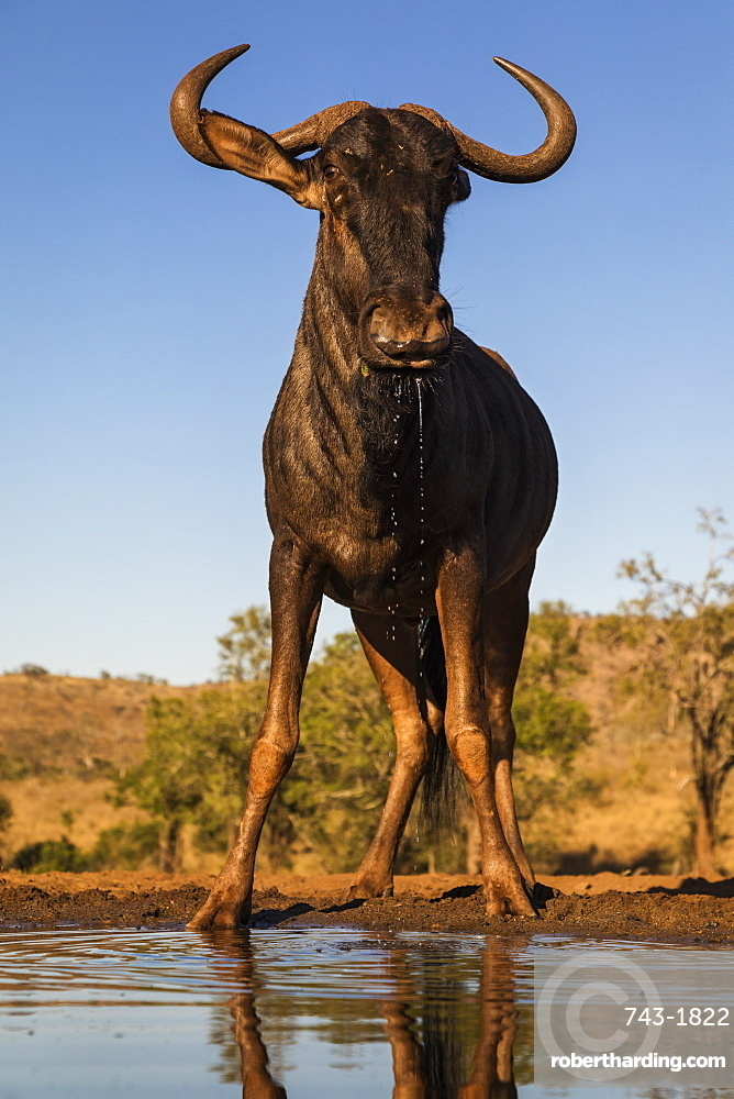 Common wildebeest (Connochaetes taurinus) at water, Zimanga game reserve, KwaZulu-Natal, South Africa, Africa