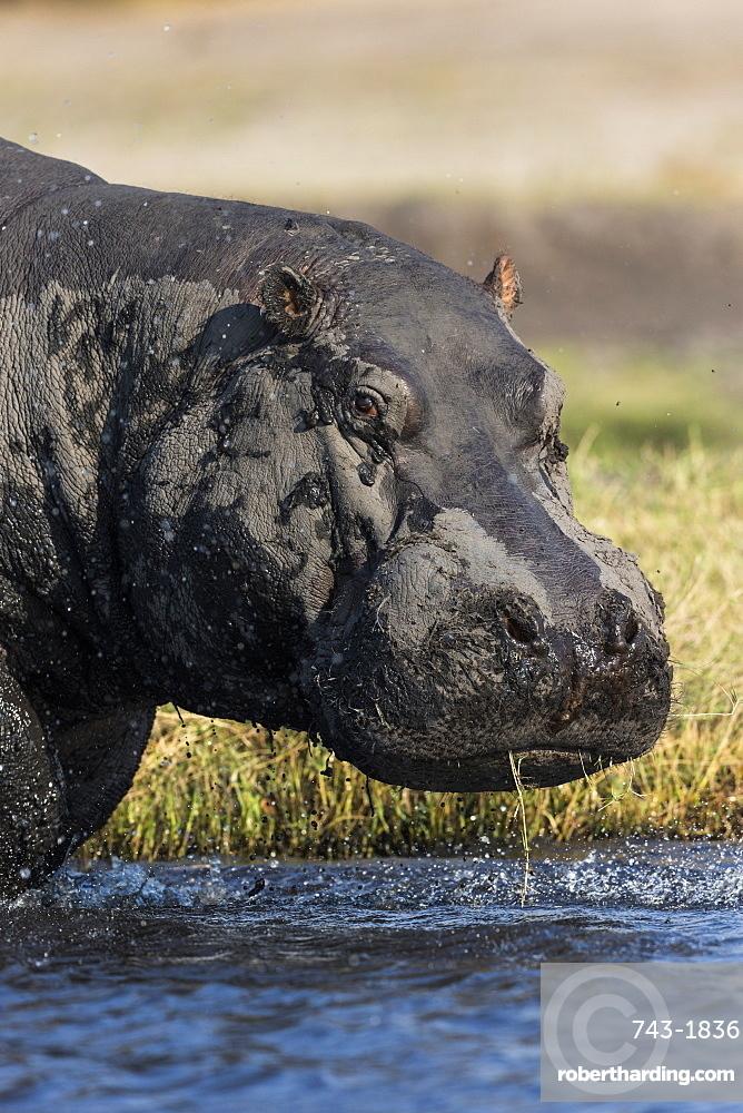 Hippo (Hippopotamus amphibius), Chobe national park, Botswana,