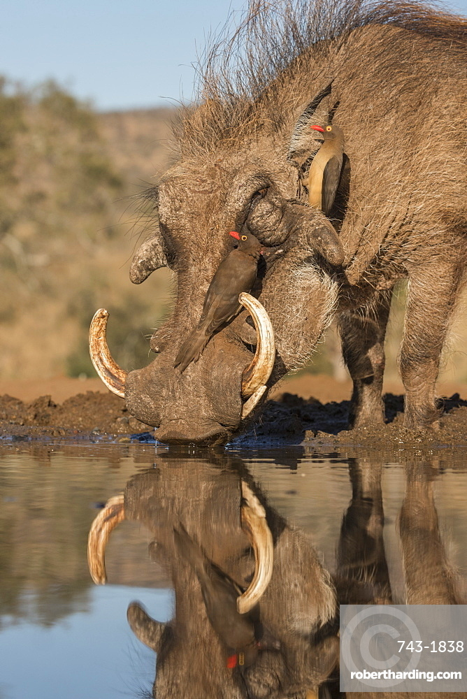 Warthog (Phacochoerus africanus) drinking, with redbilled oxpeckers, Zimanga game reserve, KwaZulu-Natal, South Africa, Africa