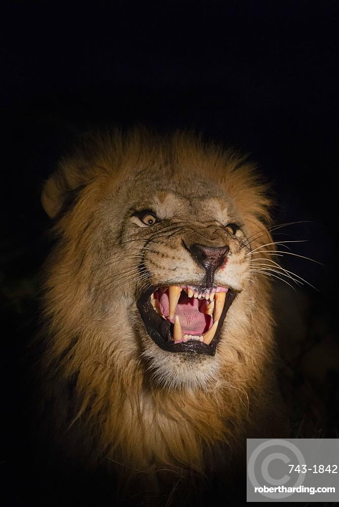 Lion (Panthera leo) male at night, Zimanga private game reserve, KwaZulu-Natal, South Africa, Africa