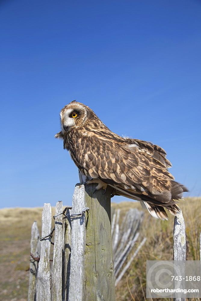Short-eared owl (Asio flammeus) captive, Holy Island, Northumberland, England, United Kingdom, Europe