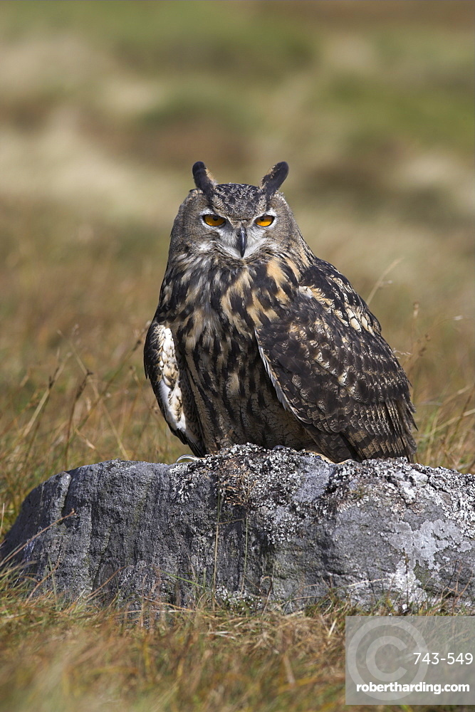 European eagle owl (Bubo bubo), on moorland, captive, United Kingdom, Europe