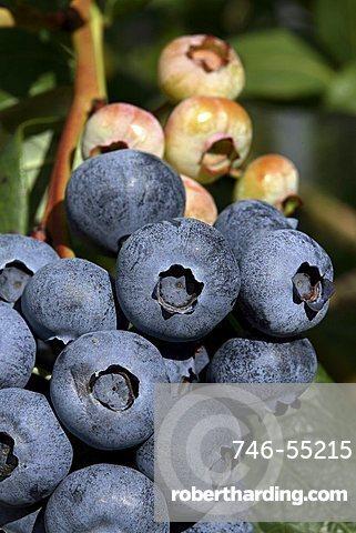 Blueberry, Trentino, Italy