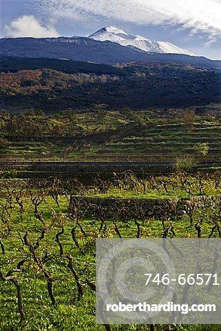 Typical Etna's vineyard, Catania, Sicily, Italy, Europe