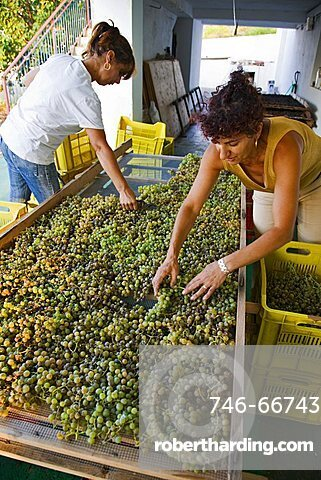 Grape harvest, Salina Island, Messina, Sicily, Italy, Europe