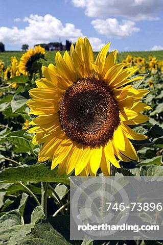Sunflowers in the country around Montefalco, Umbria, Italy, Europe