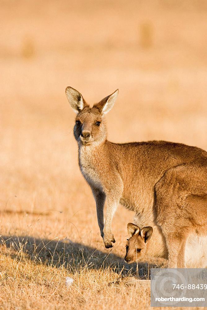 Eastern Grey Kangaroo or Forester Kangaroo (Macropus giganteus), female, mother with Joey looking out of pouch, Australia, Tasmania