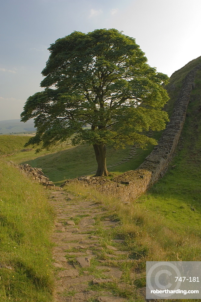 Sycamore Gap, location for scene in the film Robin Hood Prince of Thieves, Hadrian's Wall, UNESCO World Heritage Site, Nothumberland, England, United Kingdom, Europe