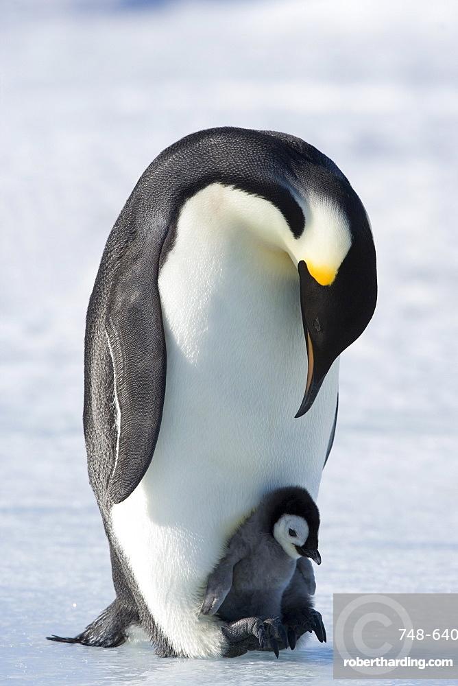 Emperor penguin chick and adult (Aptenodytes forsteri), Snow Hill Island, Weddell Sea, Antarctica, Polar Regions