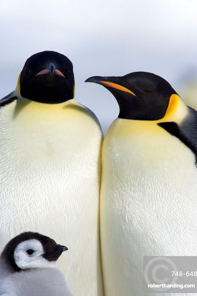 Emperor penguins (Aptenodytes forsteri), Snow Hill Island, Weddell Sea, Antarctica, Polar Regions