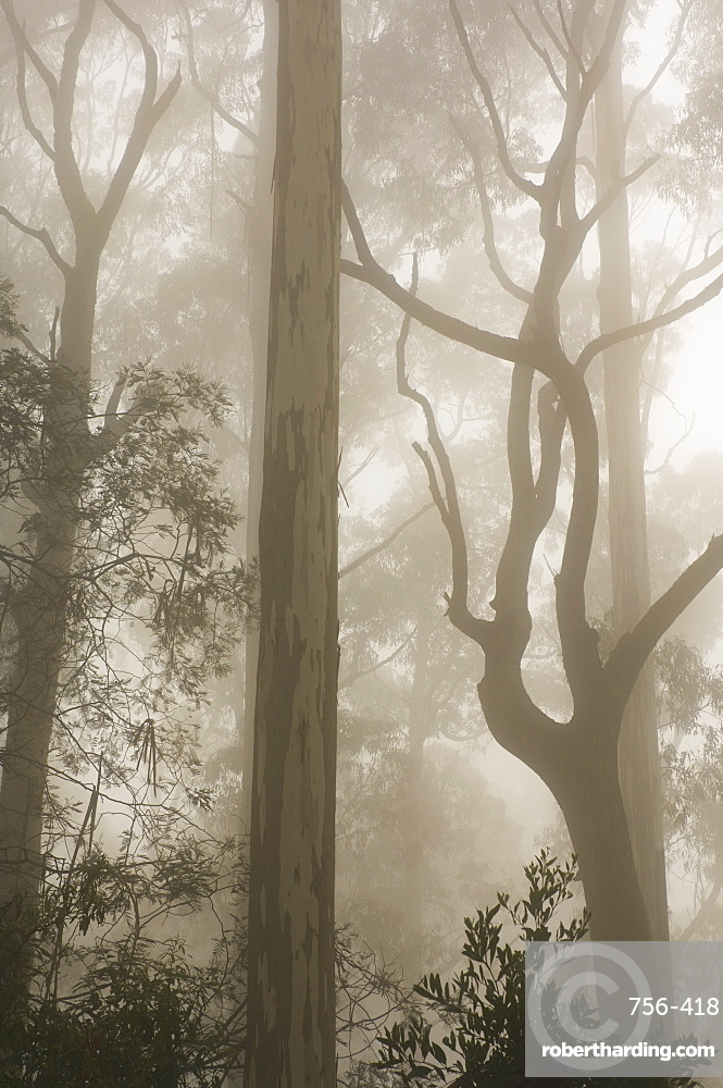 Mountain ash forest and morning fog, Mount Macedon, Victoria, Australia, Pacific