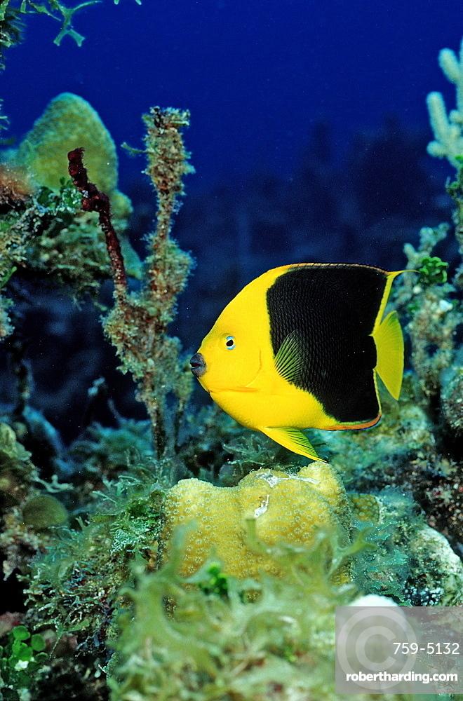 Rock Beauty, Holocanthus tricolor, Netherlands Antilles, Bonaire, Caribbean Sea
