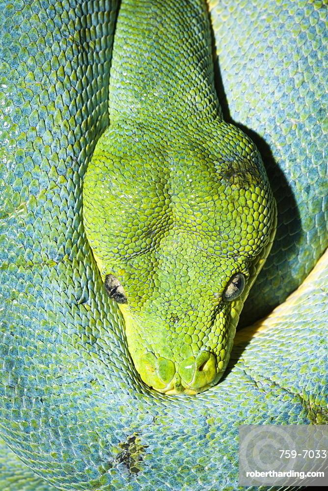 Green Tree Python, Morelia viridis, West Papua, Misool, Indonesia