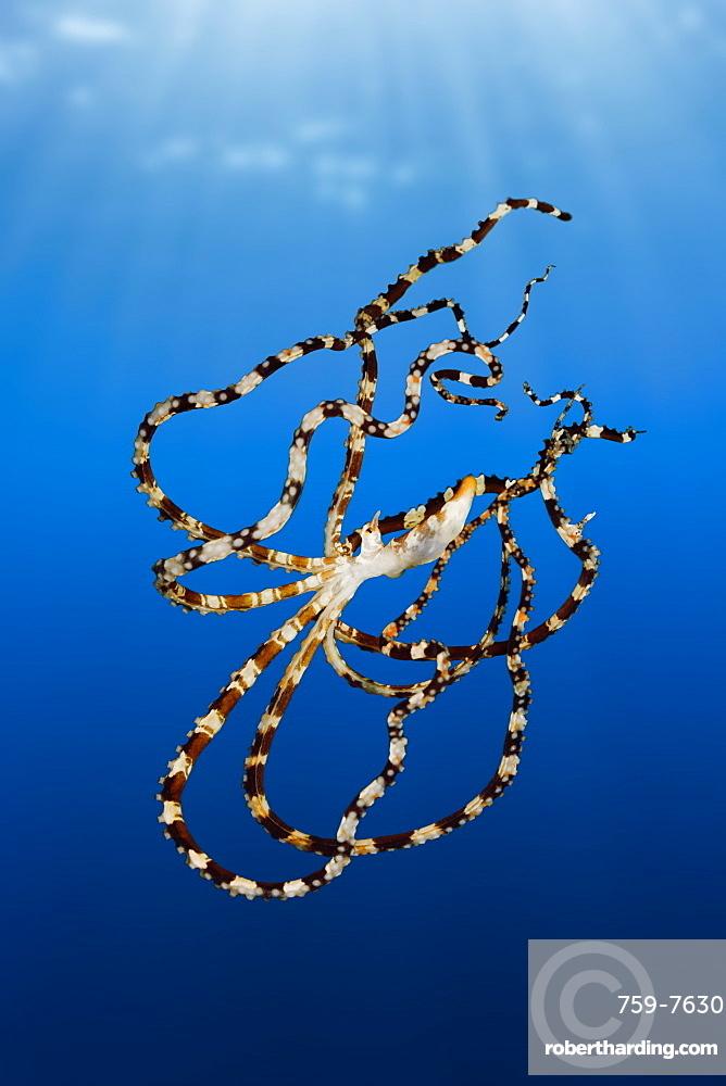 Wonderpus Octopus, Wunderpus photogenicus, Lembeh Strait, North Sulawesi, Indonesia