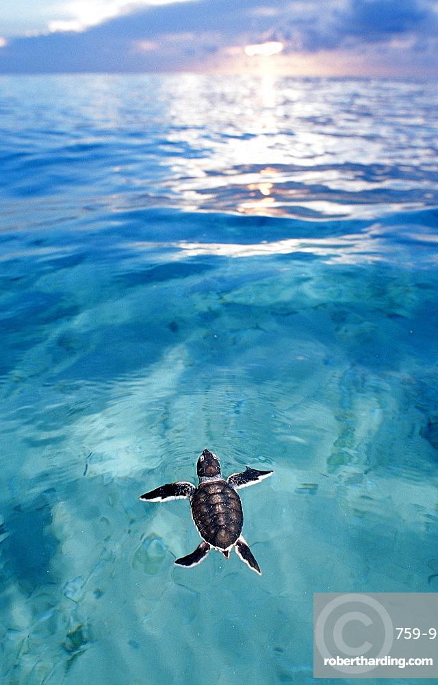 Ocean Baby Sea Turtles
