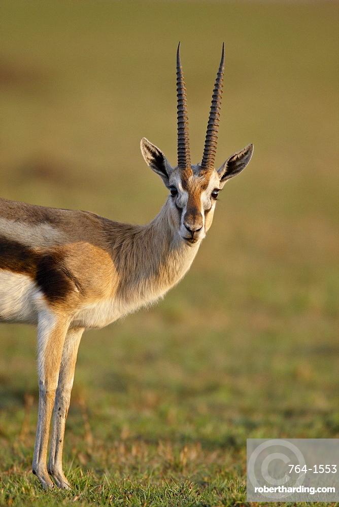 Male Thomson's gazelle (Gazella thomsonii), Masai Mara National Reserve, Kenya, East Africa, Africa