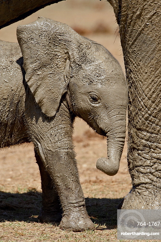 Baby African Elephant (Loxodonta africana) standing by its mother's leg, Addo Elephant National Park, South Africa, Africa