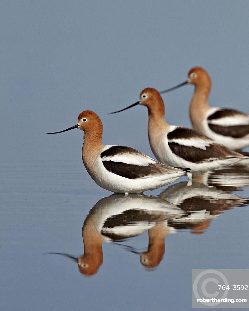 Three American avocet (Recurvirostra americana), Yellowstone National Park, Wyoming, United States of America, North America