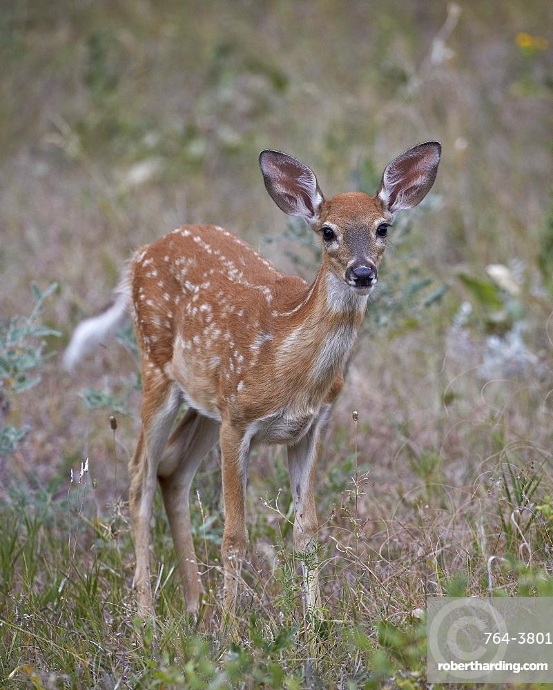White-tailed deer (whitetail deer) (Virginia deer) (Odocoileus virginianus) fawn, Custer State Park, South Dakota, United States of America, North America