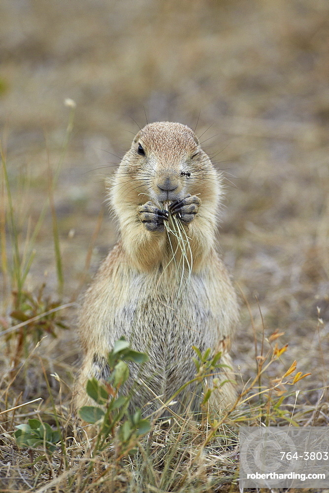 Black-tailed prairie dog (blacktail prairie dog) (Cynomys ludovicianus) eating, Custer State Park, South Dakota, United States of America, North America