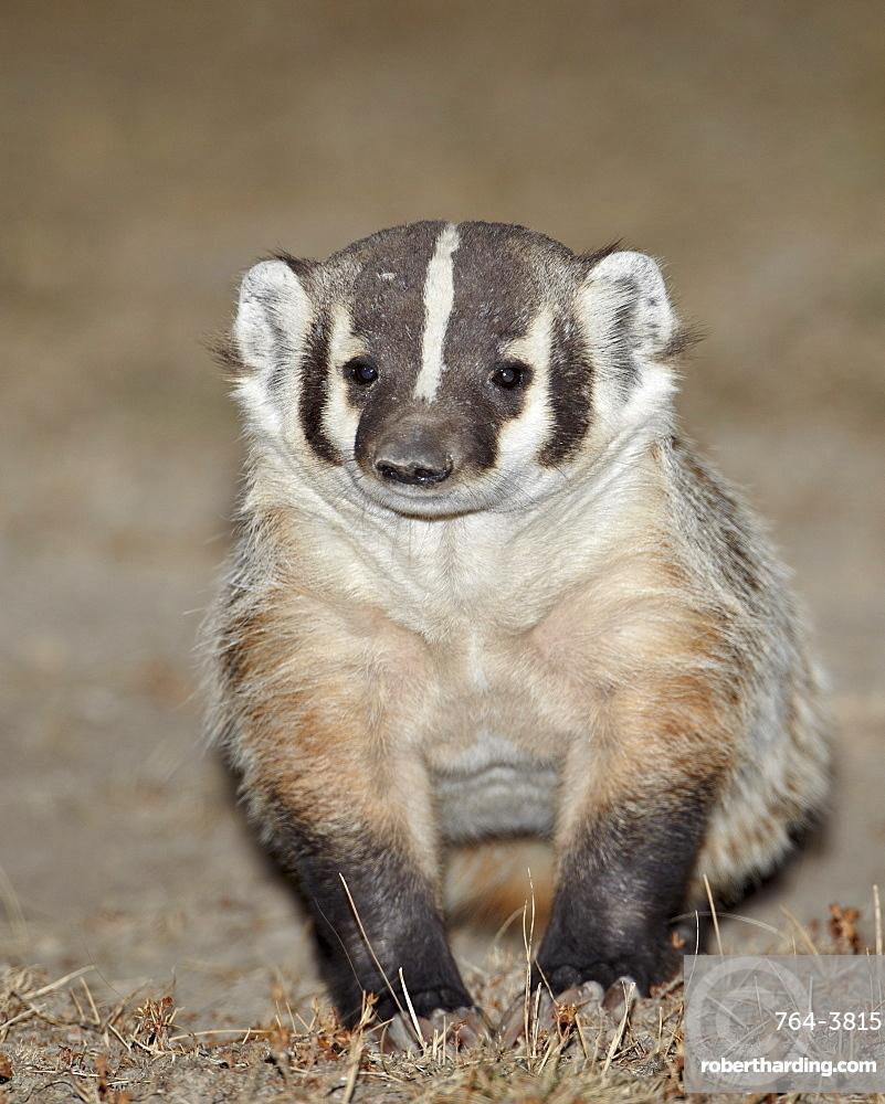 Badger (Taxidea taxus), Buffalo Gap National Grassland, Conata Basin, South Dakota, United States of America, North America