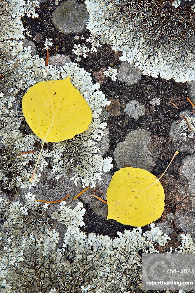 Yellow aspen leaves on a lichen-covered rock in the fall, Uncompahgre National Forest, Colorado, United States of America, North America