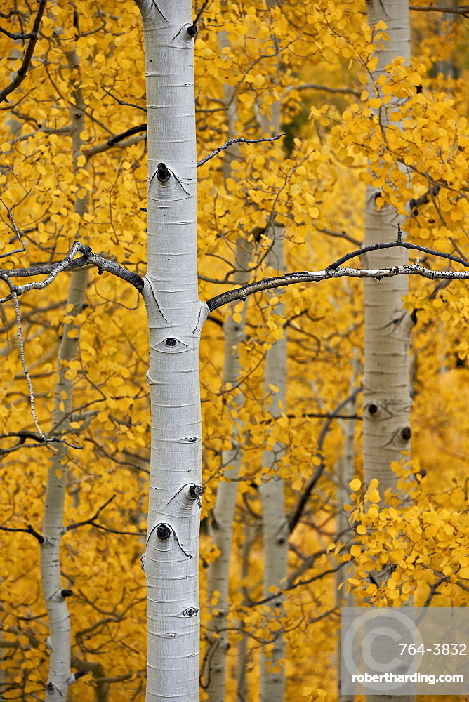 Aspen trunks among yellow leaves, Uncompahgre National Forest, Colorado, United States of America, North America
