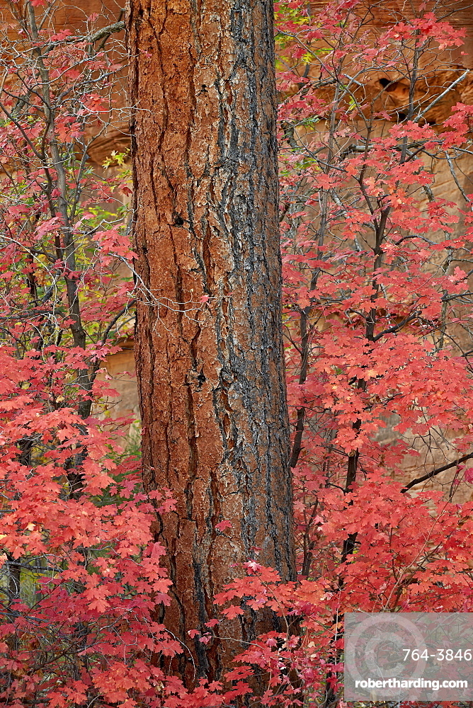 Red leaves on a bigtooth maple (Acer grandidentatum) surround a Ponderosa pine trunk in the fall, Zion National Park, Utah, United States of America, North America