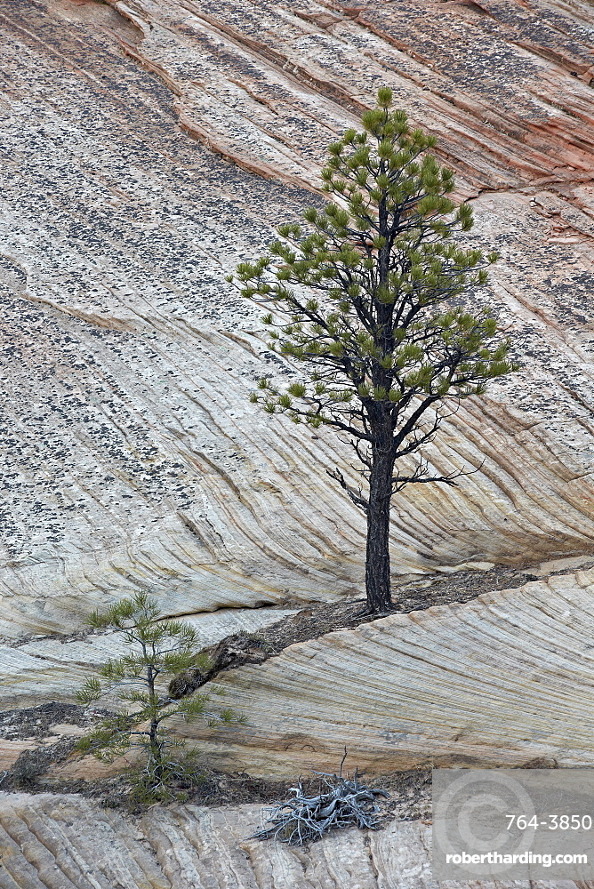 Pine tree growing on a sandstone ledge, Zion National Park, Utah, United States of America, North America