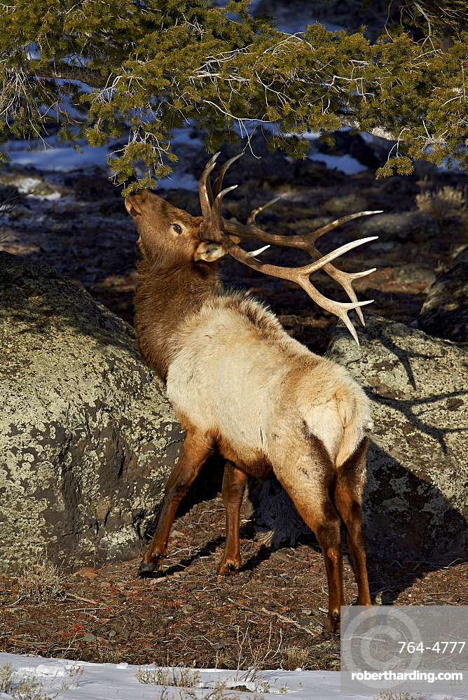Bull elk (Cervus canadensis) eating pine needles, Yellowstone National Park, Wyoming, United States of America, North America