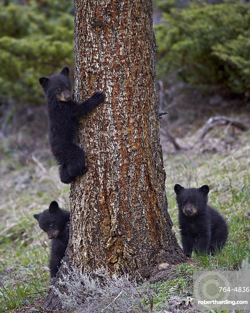 Three black bear (Ursus americanus) cubs of the year or spring cubs, Yellowstone National Park, UNESCO World Heritage Site, Wyoming, United States of America, North America