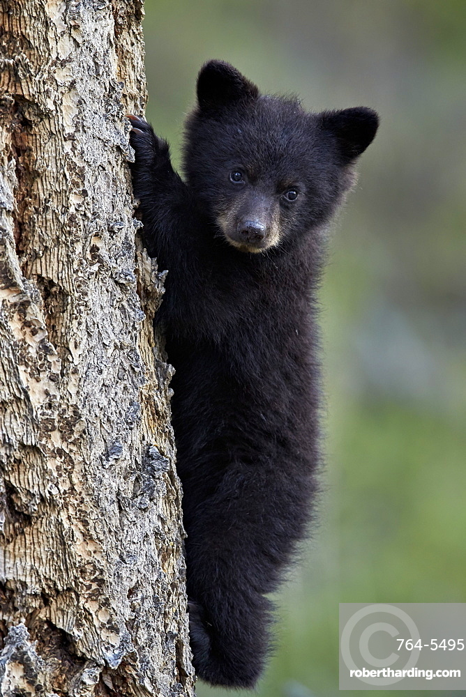 Black bear (Ursus americanus) cub of the year or spring cub climbing a tree, Yellowstone National Park, Wyoming, United States of America, North America