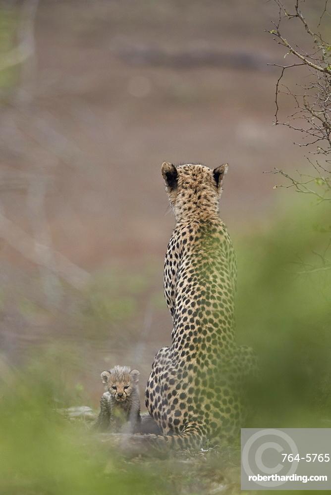 Cheetah (Acinonyx jubatus) mother and tiny cub, Kruger National Park, South Africa, Africa