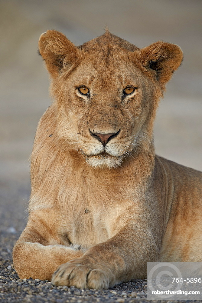 Young male lion (Panthera leo), Serengeti National Park, Tanzania, East Africa, Africa