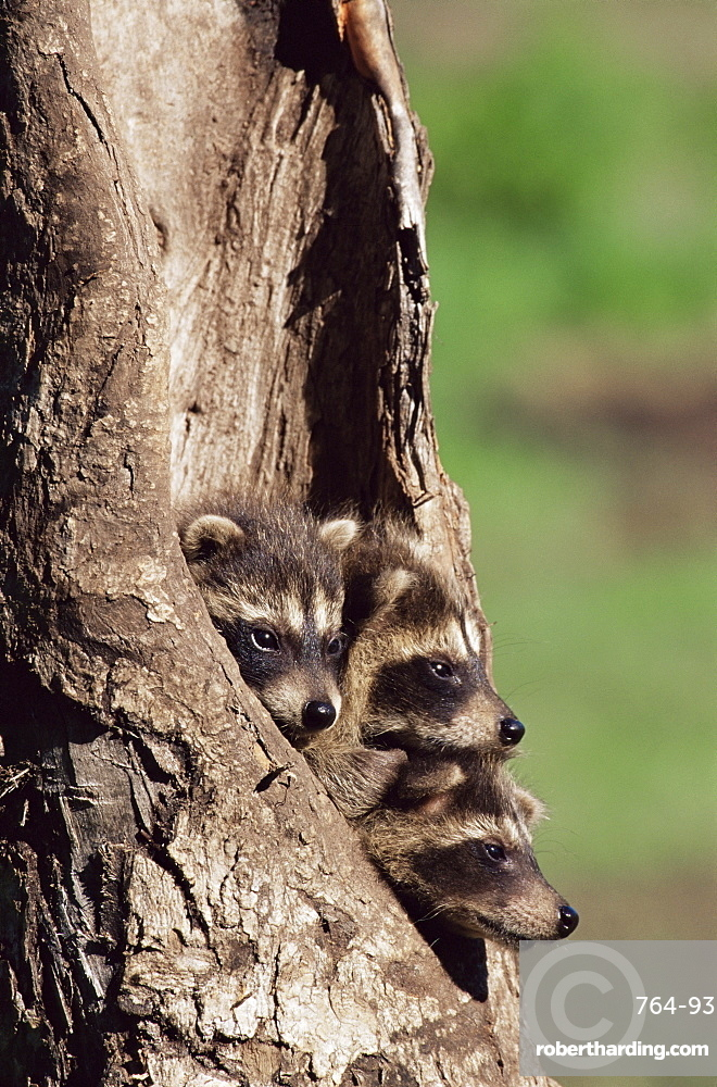 Raccoons (Racoons) (Procyon lotor), 41 day old young in captivity, Sandstone, Minnesota, United States of America, North America