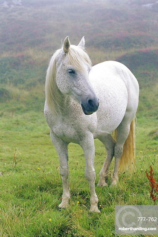 Connemara pony, Clifden, County Galway, Connacht, Republic of Ireland, Europe