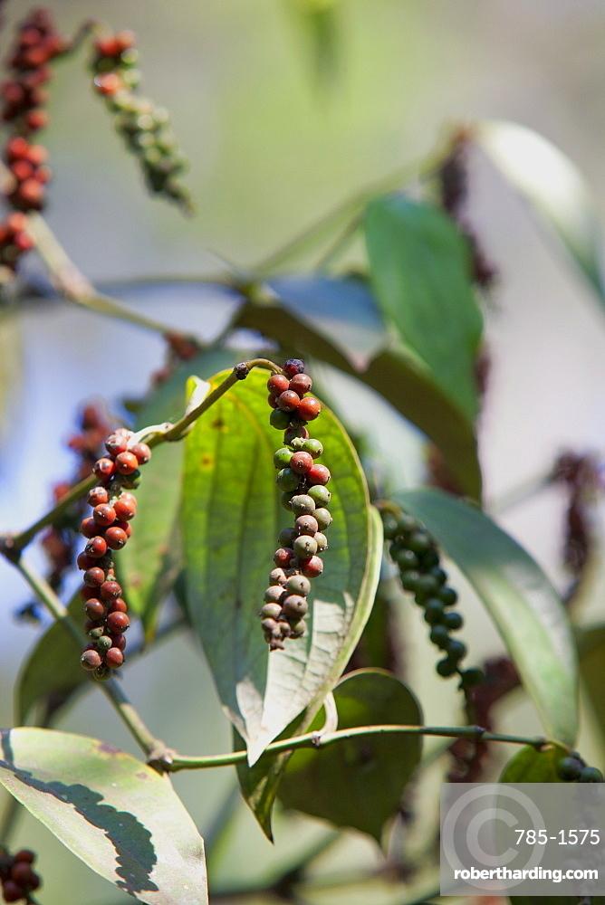 Peppercorn plant, Kerala, India, Asia
