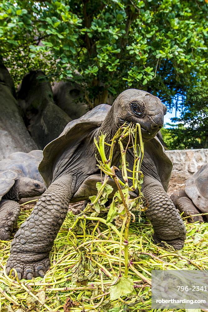 Giant Aldabra Seychelles tortoise (Aldabrachelys gigantea), Union Estate Park, La Digue, Republic of Seychelles, Indian Ocean, Africa