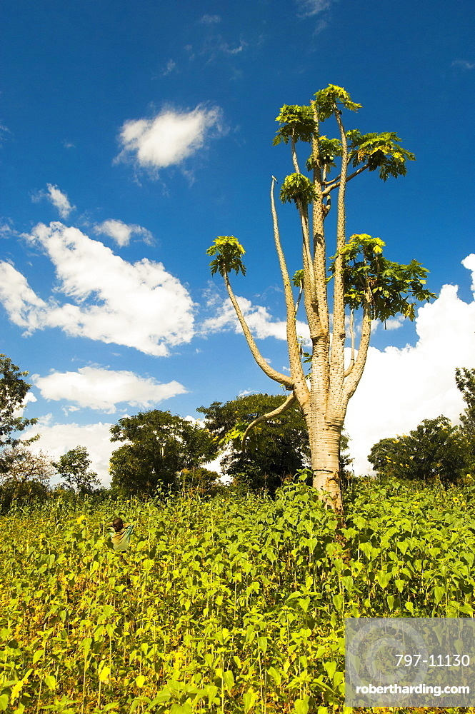 Burundi, Cibitoke Province, Kirundo, Tree growing in a field of sunflowers small boy in background.